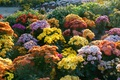 Picture flowers, garden, Sunny, colorful, the bushes, chrysanthemum