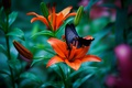 Picture macro, butterfly, Lily, buds