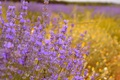 Picture Lavender, Lavender, Purple flowers