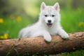 Picture language, grass, lawn, greens, cute, tree, husky, log, puppy, portrait