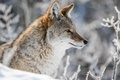 Picture winter, snow, portrait, profile, coyote, meadow wolf