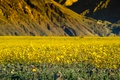 Picture flowers, mountains, spring, CA, USA, Death Valley