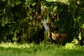 Picture forest, grass, light, trees, branches, thickets, glade, ate, muzzle, Fox, hide and seek, needles, Sunny, ...