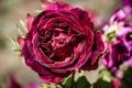 Picture rose, petals, macro, Bud