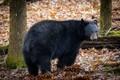 Picture bear, animal, wool, large, bear