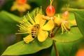 Picture flower, bee, macro