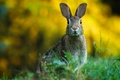 Picture grass, ears, hare, greens, face, bokeh, rodent, alert, background, Bunny, look, wildlife, portrait