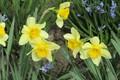 Picture leaves, flowers, Bush, daffodils, spring 2018, Meduzanol ©