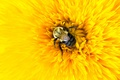 Picture flower, yellow, bee, insect, petals, bumblebee, macro