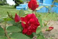 Picture roses, may, memories of the spring