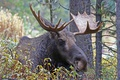 Picture forest, thickets, horns, nature, moose, head