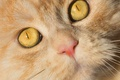 Picture cat, eyes, Kote, red cat, muzzle, look