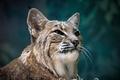 Picture wild cat, face, lynx, portrait