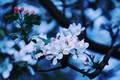 Picture Apple blossom, Apple, blooming Apple tree, branch of Apple