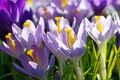 Picture macro, joy, flowers, nature, beauty, plants, spring, crocuses, primroses, the color purple, cottage, flora, bulbous